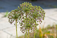 Onion flower stalks Royalty Free Stock Photo