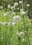Onion flower stalks at shallow depth of focus Royalty Free Stock Images