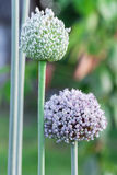 Onion flower stalks Royalty Free Stock Photos