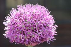 Onion flower in summer under the sun stock photography