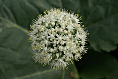 Onion Flower Stock Photo