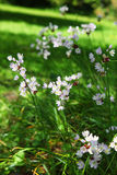Wild onion flower in Gardens of Samares Manor on i Royalty Free Stock Image