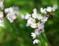 Wild onion flower in Gardens of Samares Manor on i. Sland of jersey, united kingdom stock photo