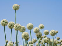 Onion flowers. Closeup of onion flowers with blue sky background stock photos