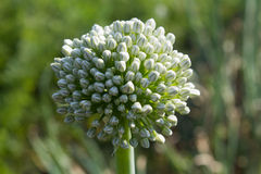 Onion flowers (allium cepa). Close-up of an onion white flowers cluster, grown for seeds in an organic garden Royalty Free Stock Photo