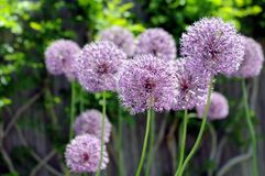 Onion flowers Royalty Free Stock Photography