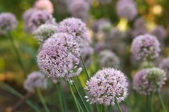 Onion flowers Royalty Free Stock Photos