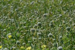 Onion Flowers and Crop India Royalty Free Stock Images