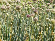 Onion flowers field Royalty Free Stock Photos