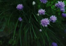 Onion flowers garden day no people outdoors green color purple color. Green color leaf plant nature close-up freshness day no people onion Stock Images