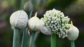 Onion flowers in the garden. Onions, shallots and garlic are all part of the Allium family, a plant that naturally flowers once every two years Royalty Free Stock Photo