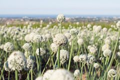 Onion flowers and sea in background royalty free stock photos