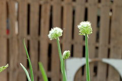 Onion flowers Royalty Free Stock Photo