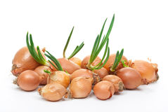 Onion with fresh green sprout Royalty Free Stock Photography