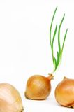 Onion with fresh green sprout. Stock Photo