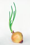 Onion with fresh green sprout. Royalty Free Stock Photography