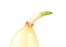 Onion with fresh green sprout. Stock Images