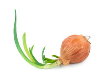 Onion with fresh green sprout. On white background Royalty Free Stock Photos