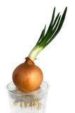 Onion with fresh sprouts Stock Images