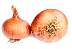 Onion. Fresh Onion on white background Stock Image