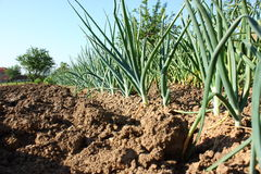 Onion and garlic plants Royalty Free Stock Photos