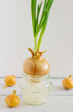 Onion germinated Stock Image