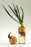 Onion in glass Stock Photos