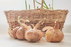 The onion with the green chive Royalty Free Stock Image