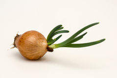 Onion with green onion sprouts Royalty Free Stock Photo