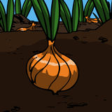 Onion in the ground Royalty Free Stock Photo