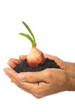 onion grow good fertilizer soil Royalty Free Stock Photo