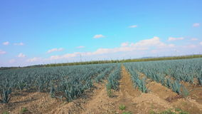 Onion growing in the field stock footage