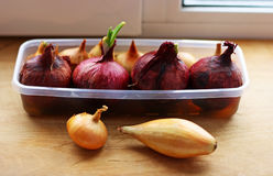Onion growing in the home. Royalty Free Stock Image