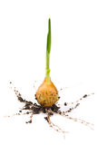 Onion growing Stock Image