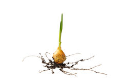 Onion growing on soil island Royalty Free Stock Photo