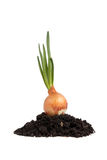 Onion growing on soil isolated Stock Photos