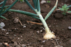 Onion growing up out of the dirt. Royalty Free Stock Photography