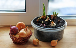 Onion growing on the window sill. Royalty Free Stock Photo