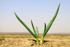 Onion grows in the soil, in a plantation Royalty Free Stock Images