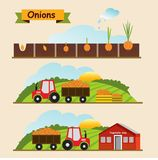 Onion, growth cycle of the plant. Collection and delivery of the vector illustration