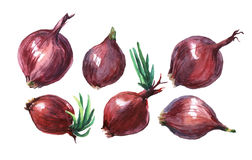 Onion. Hand drawn watercolor painting Royalty Free Stock Images