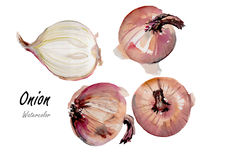 Onion.Hand drawn watercolor painting on white background Stock Image