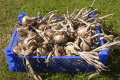Onion Harvest Stock Photos