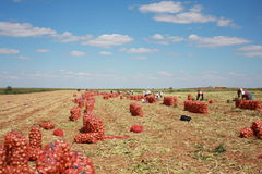 Onion harvest Royalty Free Stock Image