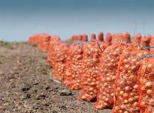 Onion Harvest Stock Image