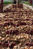 Onion harvest. Harvested onions in the boxes Royalty Free Stock Photos