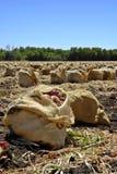 Onion Harvest Stock Photos