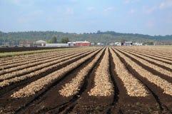 Onion Harvest Stock Photography