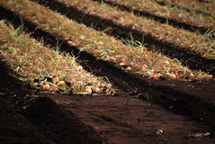 Onion Harvest - detail Royalty Free Stock Images