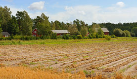 Onion harvest on field Royalty Free Stock Image